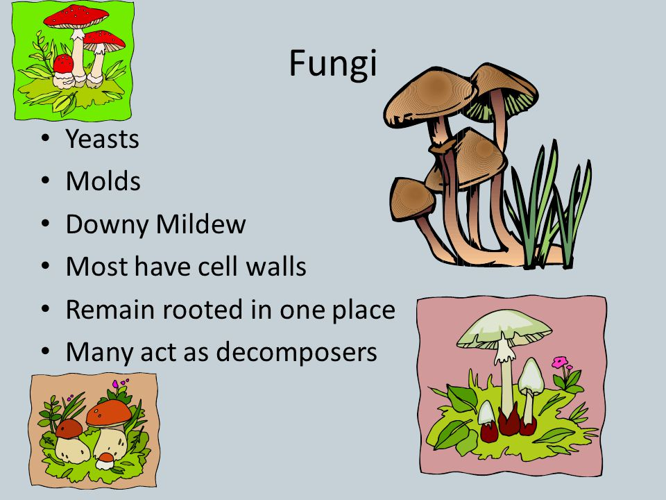 Fungi Yeasts Molds Downy Mildew Most have cell walls