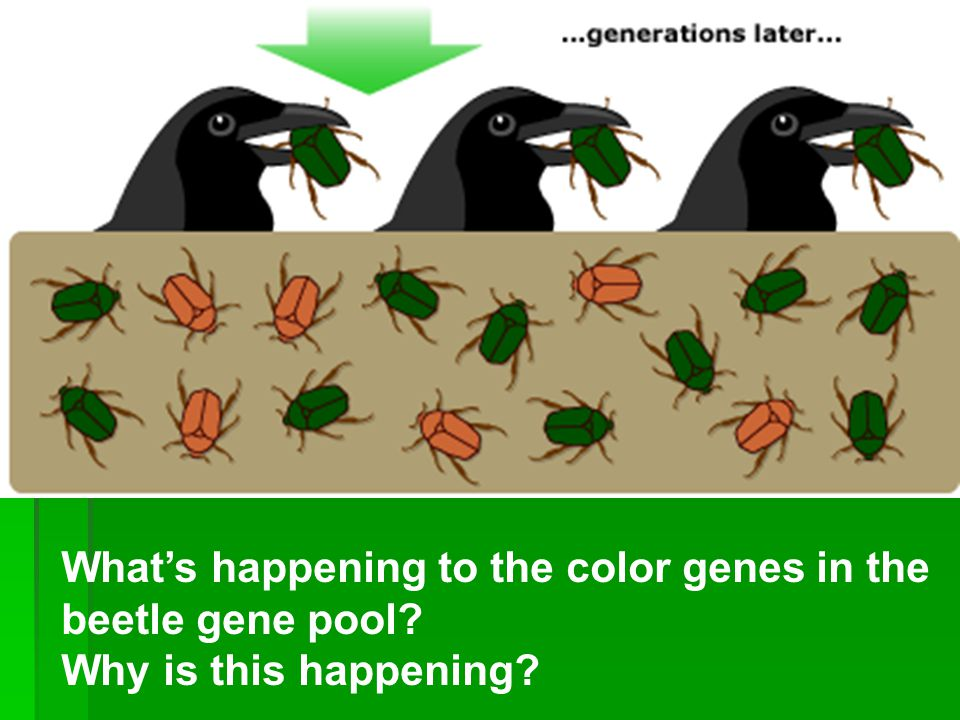 What's happening to the color genes in the