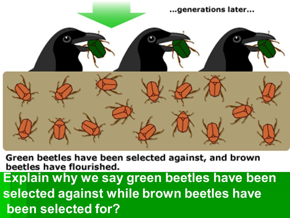 Explain why we say green beetles have been