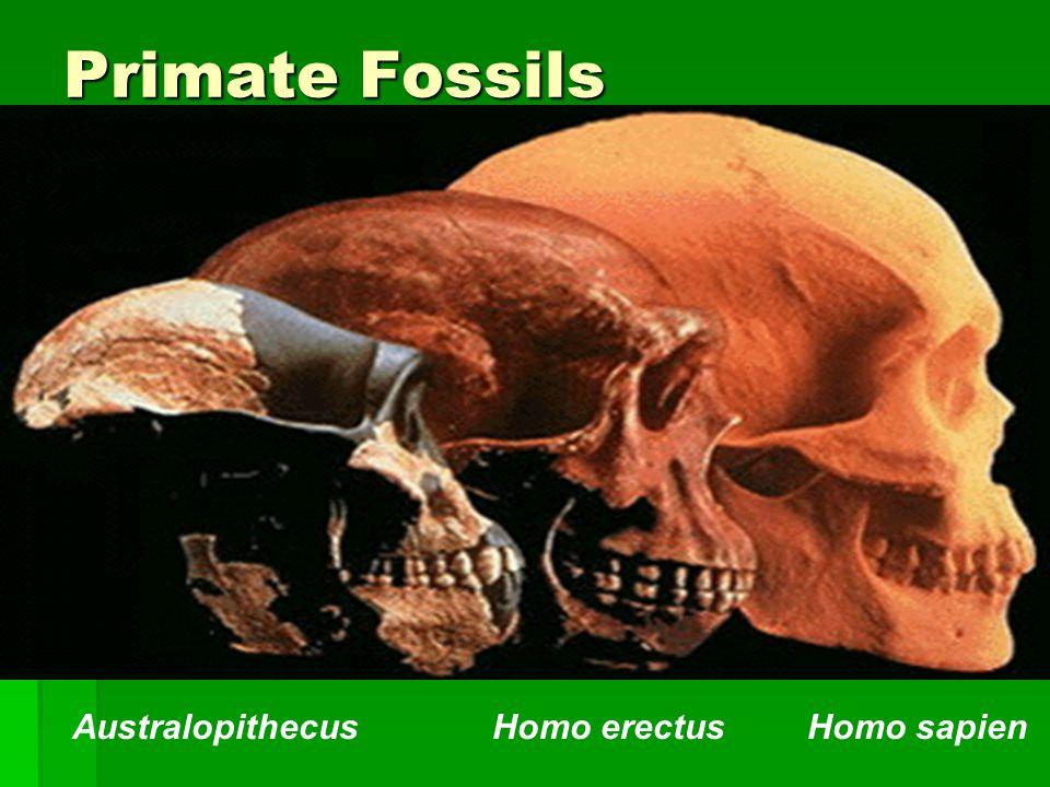 Primate Fossils Australopithecus Homo erectus Homo sapien