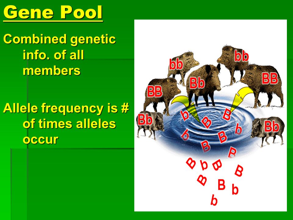 Gene Pool Combined genetic info. of all members