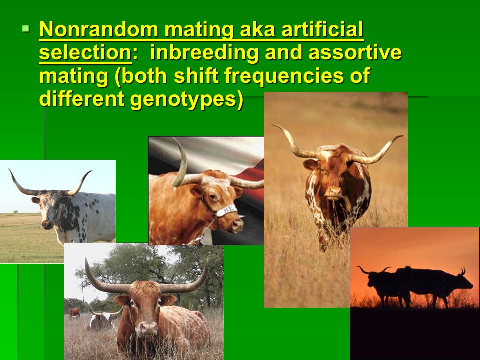 Nonrandom mating aka artificial selection: inbreeding and assortive mating (both shift frequencies of different genotypes)