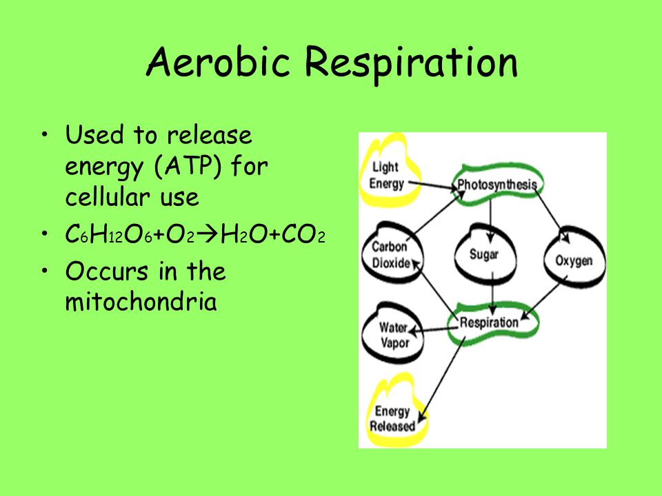 Aerobic Respiration Used to release energy (ATP) for cellular use