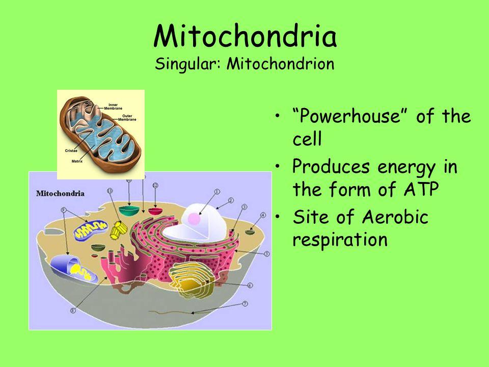 Mitochondria Singular: Mitochondrion