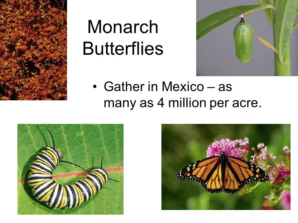 Monarch Butterflies Gather in Mexico – as many as 4 million per acre.