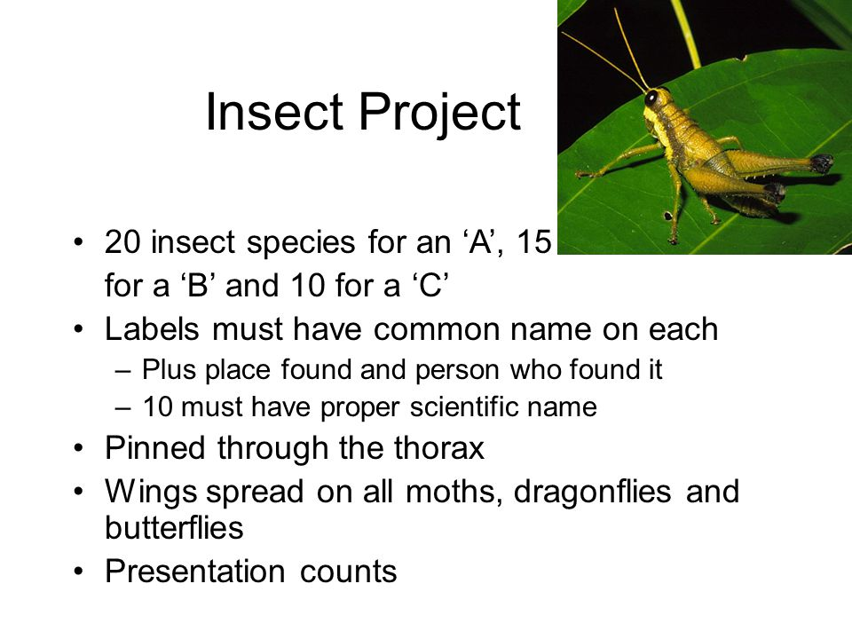 Insect Project 20 insect species for an 'A', 15