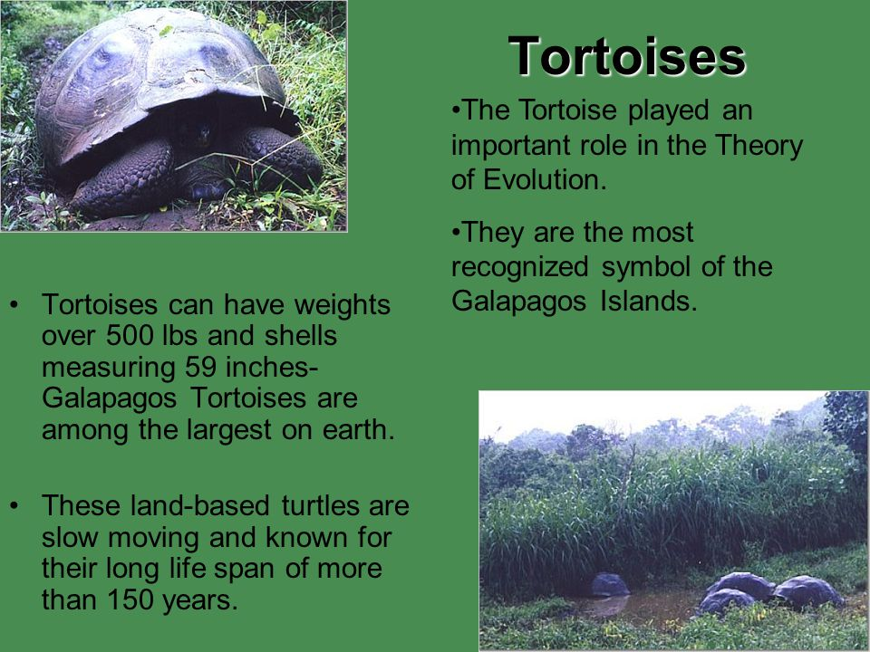 Tortoises The Tortoise played an important role in the Theory of Evolution. They are the most recognized symbol of the Galapagos Islands.