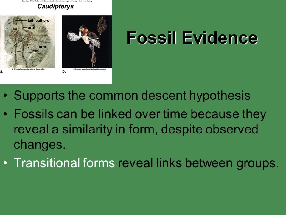 Fossil Evidence Supports the common descent hypothesis