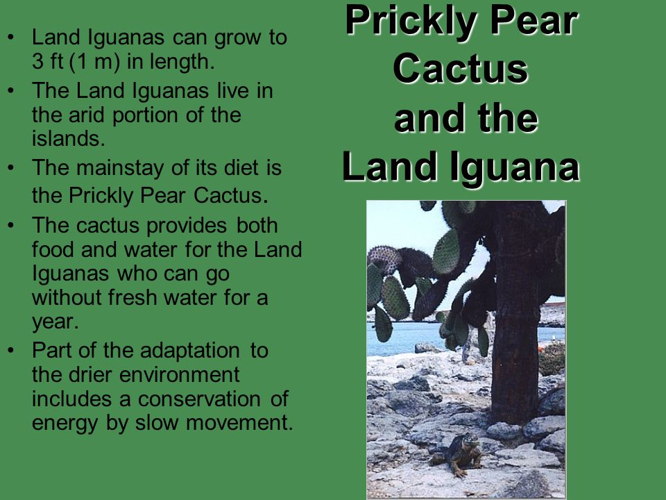 Prickly Pear Cactus and the Land Iguana