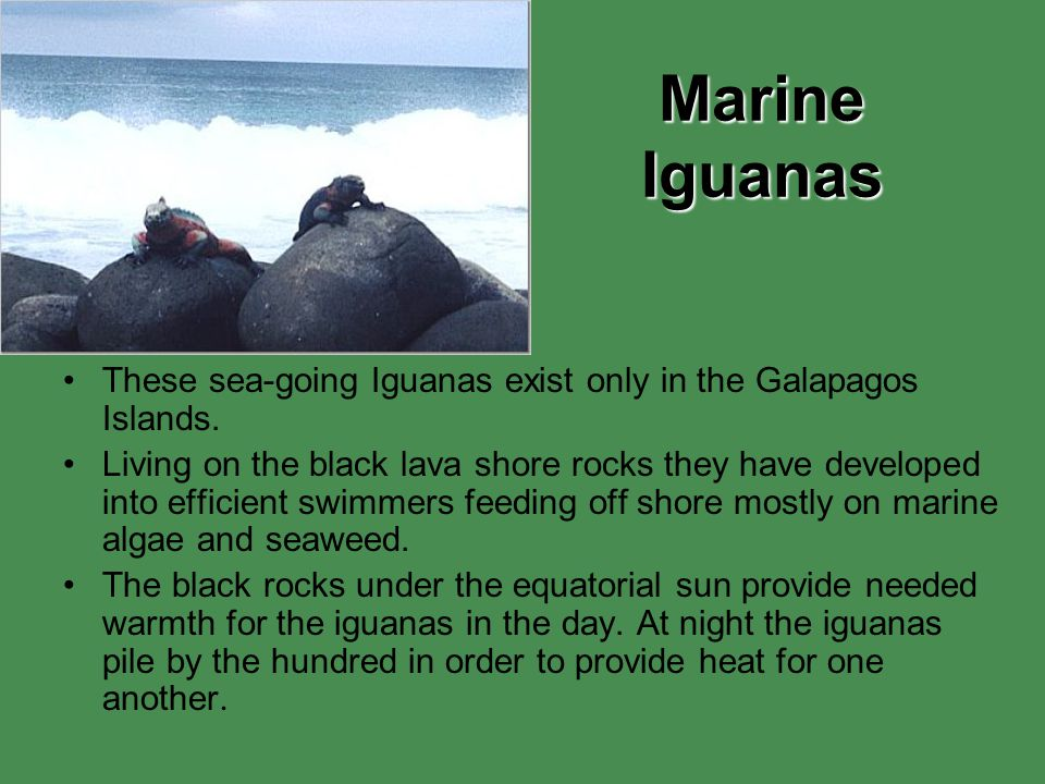 Marine Iguanas These sea-going Iguanas exist only in the Galapagos Islands.
