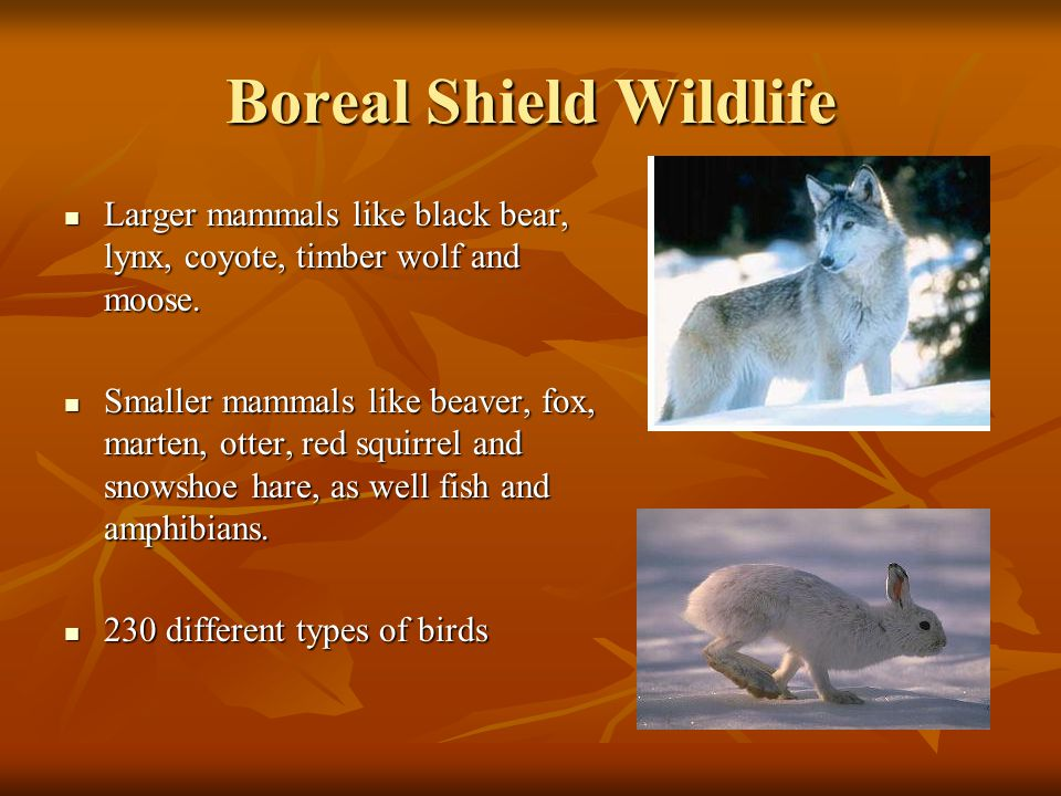 Boreal Shield Wildlife