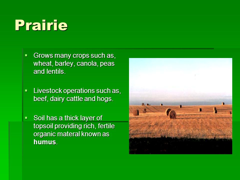 Prairie Grows many crops such as, wheat, barley, canola, peas and lentils. Livestock operations such as, beef, dairy cattle and hogs.