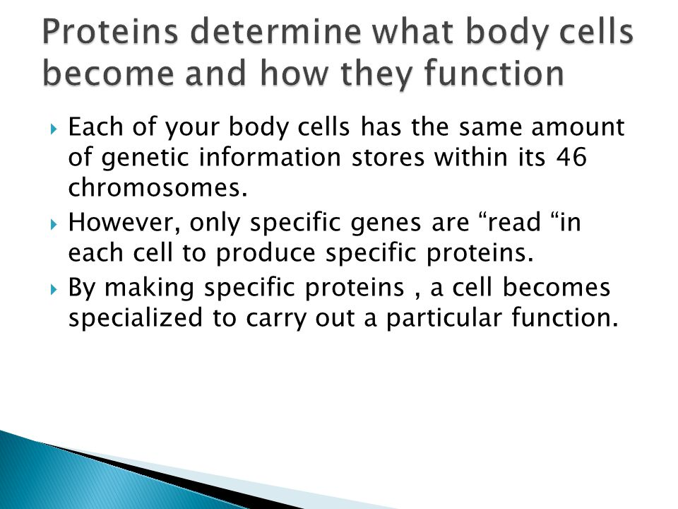 Proteins determine what body cells become and how they function