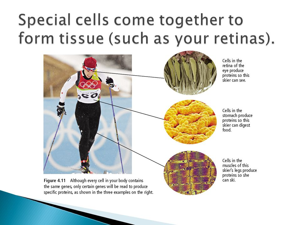 Special cells come together to form tissue (such as your retinas).