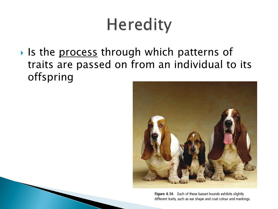 Heredity Is the process through which patterns of traits are passed on from an individual to its offspring.