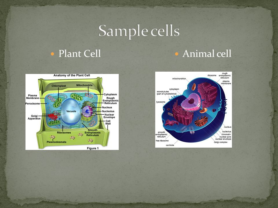 Sample cells Plant Cell Animal cell