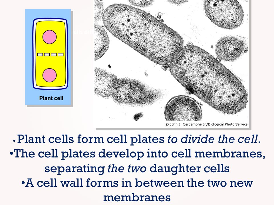 A cell wall forms in between the two new membranes