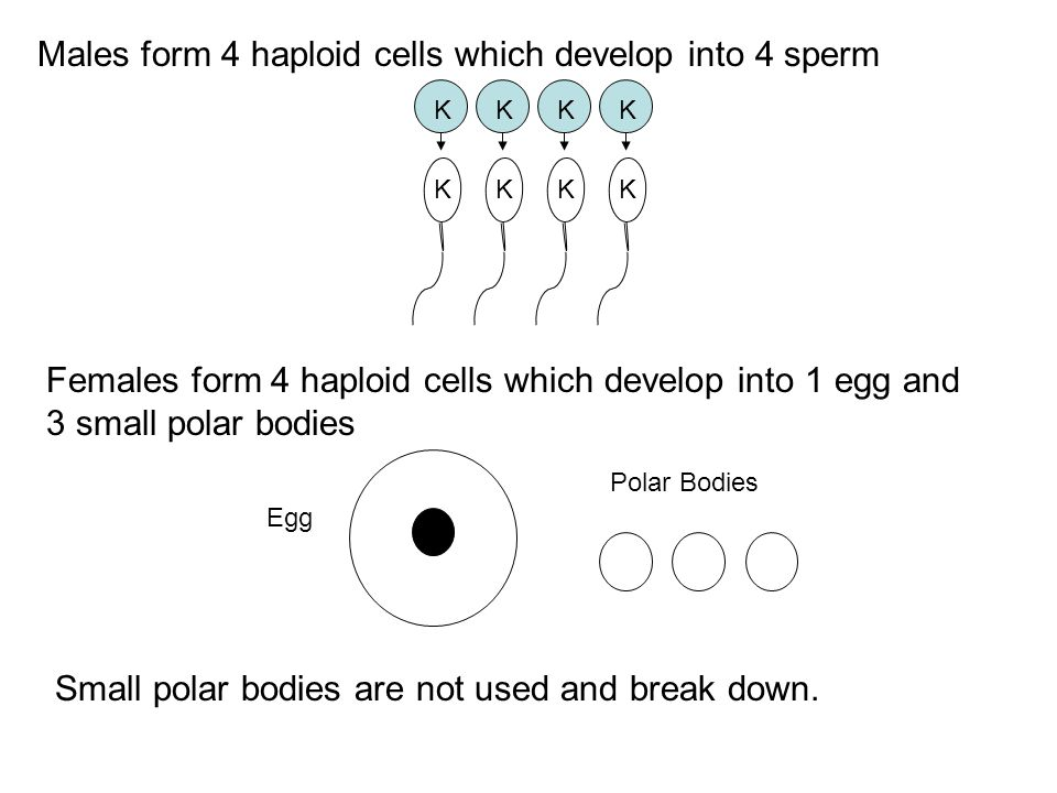 Males form 4 haploid cells which develop into 4 sperm