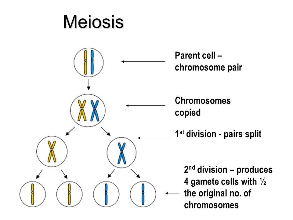 Meiosis Parent cell – chromosome pair Chromosomes copied