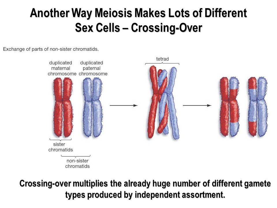 Another Way Meiosis Makes Lots of Different Sex Cells – Crossing-Over