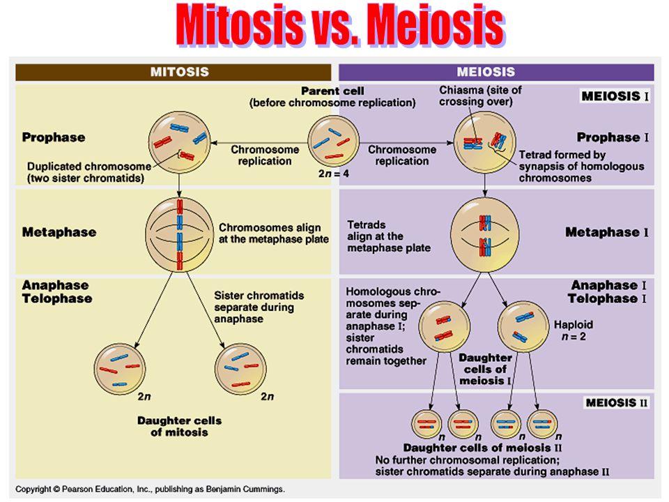 Mitosis vs. Meiosis