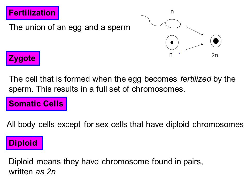 The union of an egg and a sperm