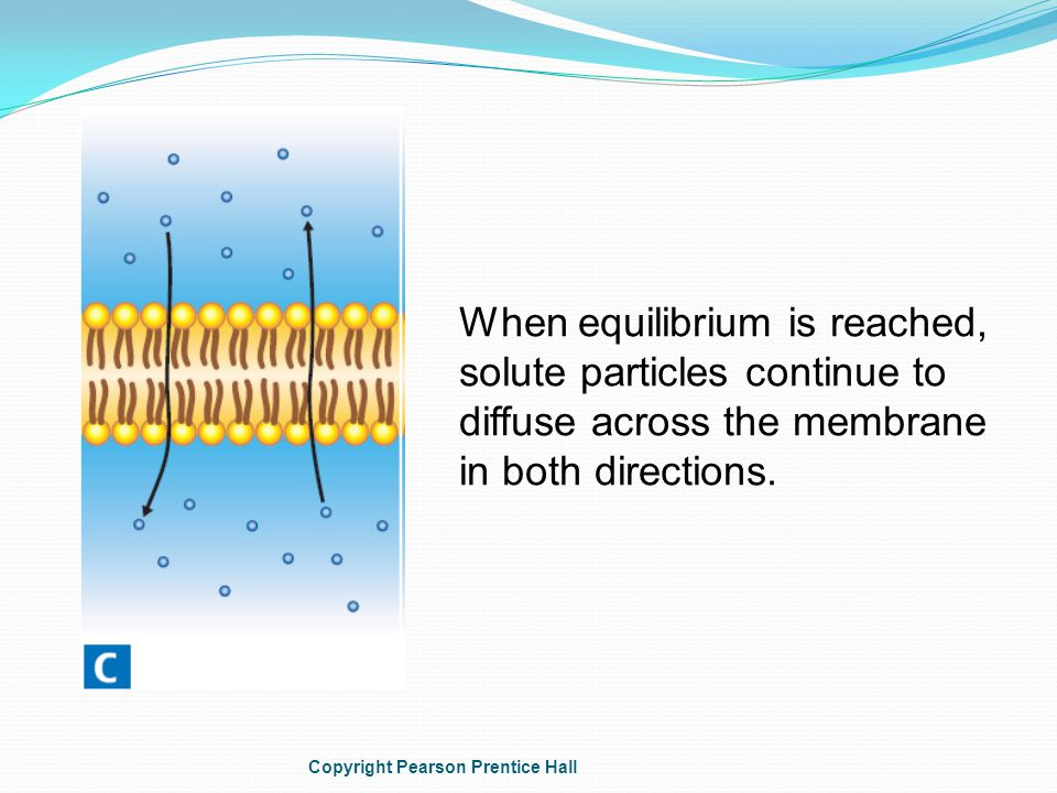 When equilibrium is reached, solute particles continue to diffuse across the membrane in both directions.