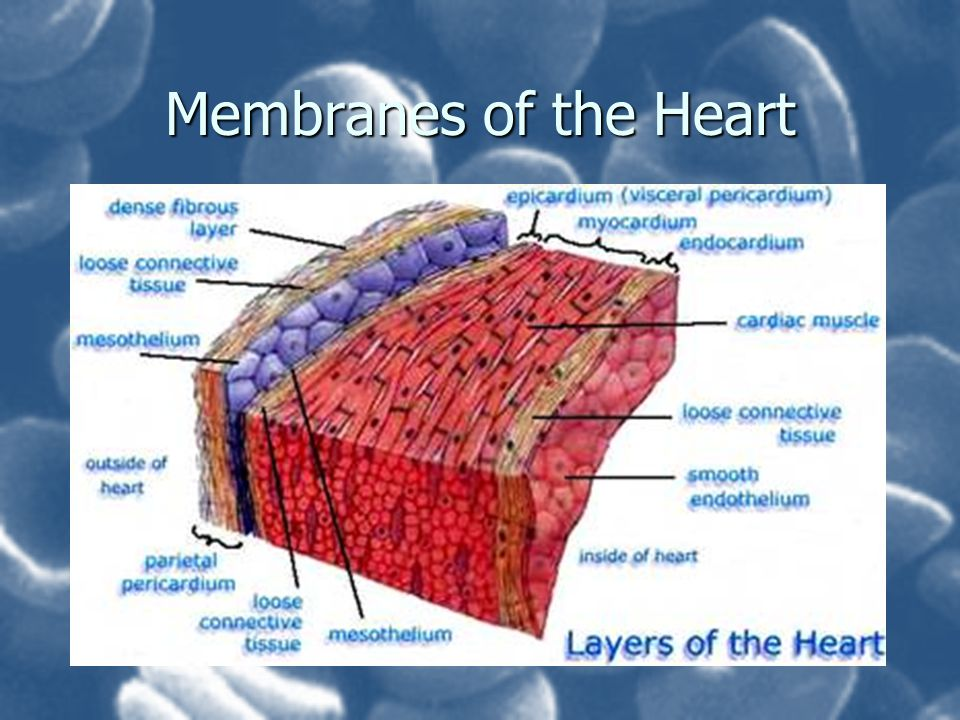 Membranes of the Heart