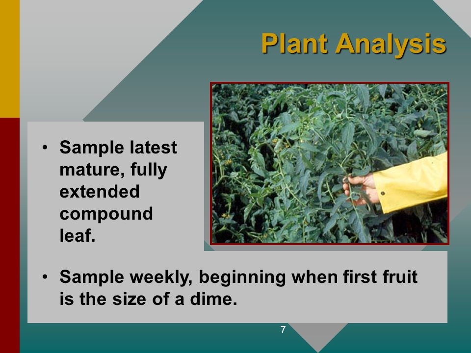 Plant Analysis Sample latest mature, fully extended compound leaf.