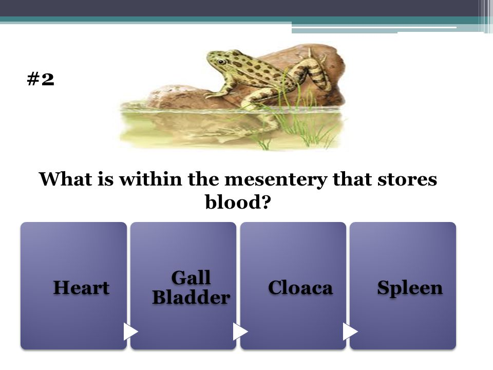 What is within the mesentery that stores blood
