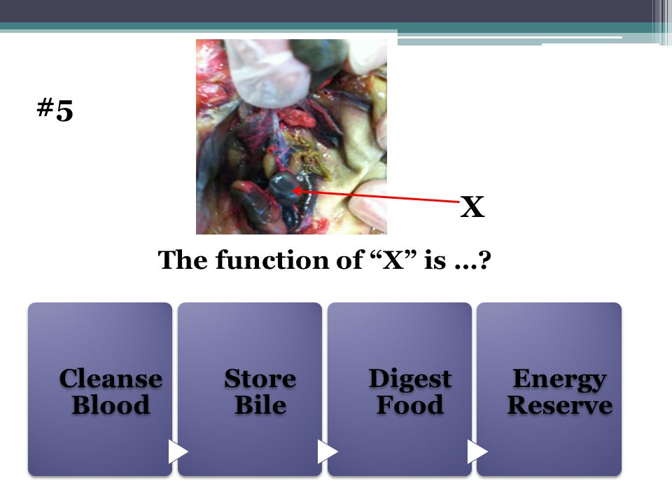 #5 X The function of X is … Cleanse Blood Store Bile Digest Food