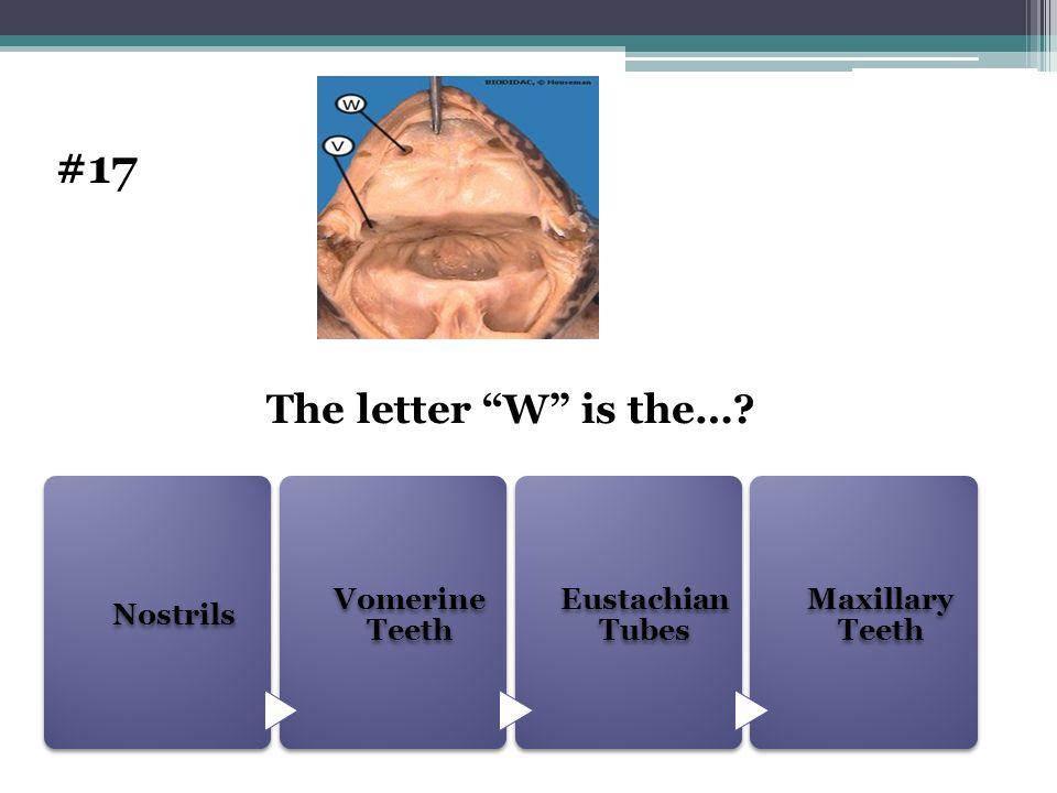 #17 The letter W is the… Nostrils Vomerine Teeth Eustachian Tubes