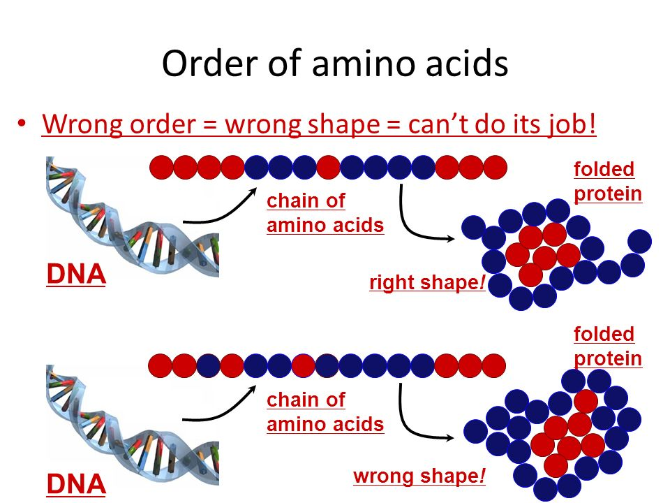 Order of amino acids Wrong order = wrong shape = can't do its job! DNA