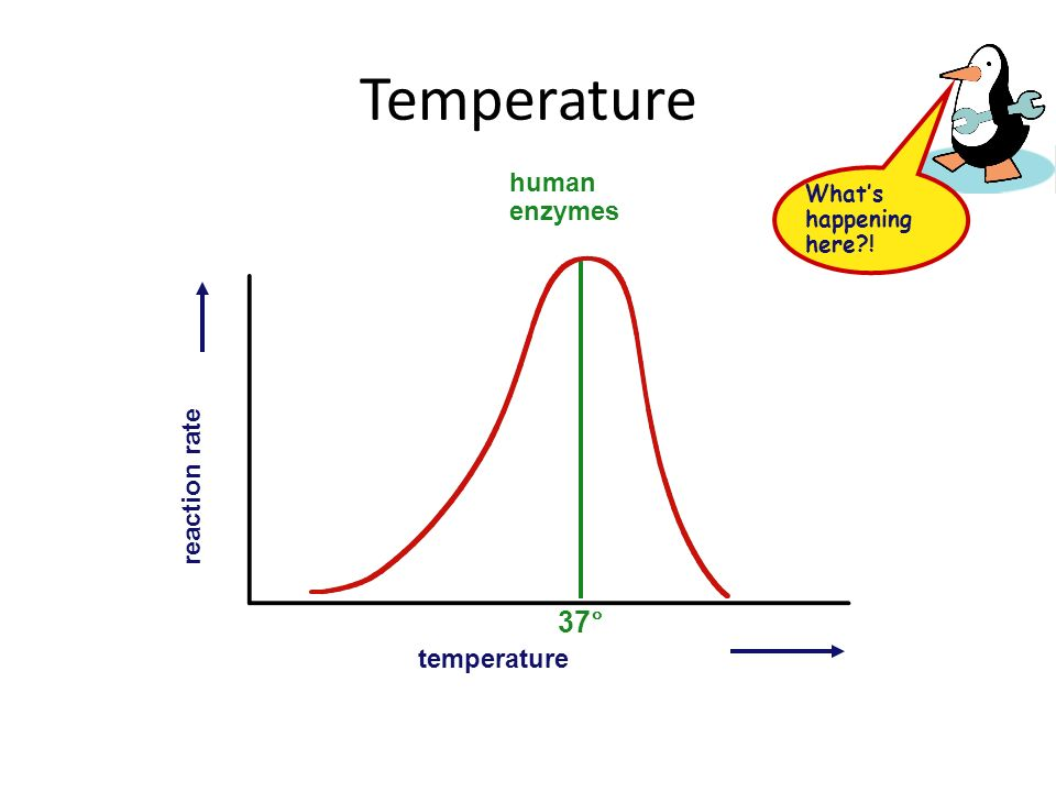 Temperature 37° human enzymes reaction rate temperature