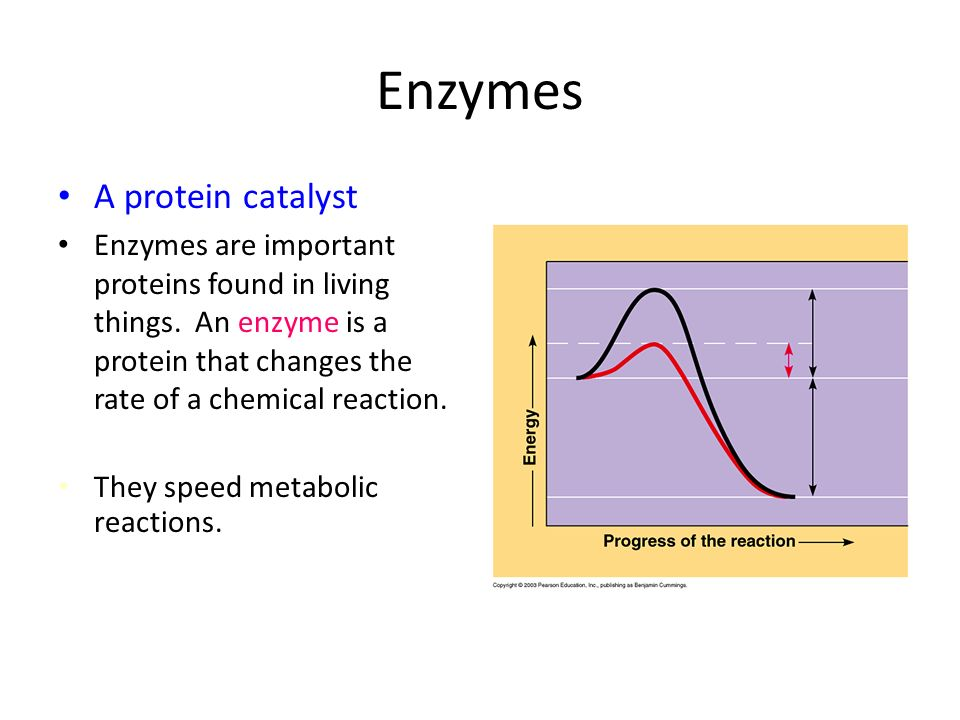 Enzymes A protein catalyst