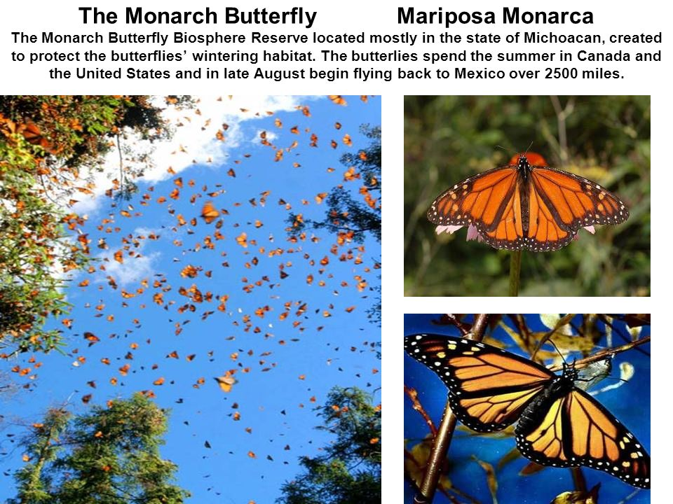 The Monarch Butterfly Mariposa Monarca The Monarch Butterfly Biosphere Reserve located mostly in the state of Michoacan, created to protect the butterflies' wintering habitat.