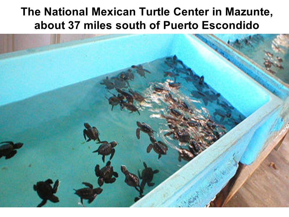 The National Mexican Turtle Center in Mazunte, about 37 miles south of Puerto Escondido