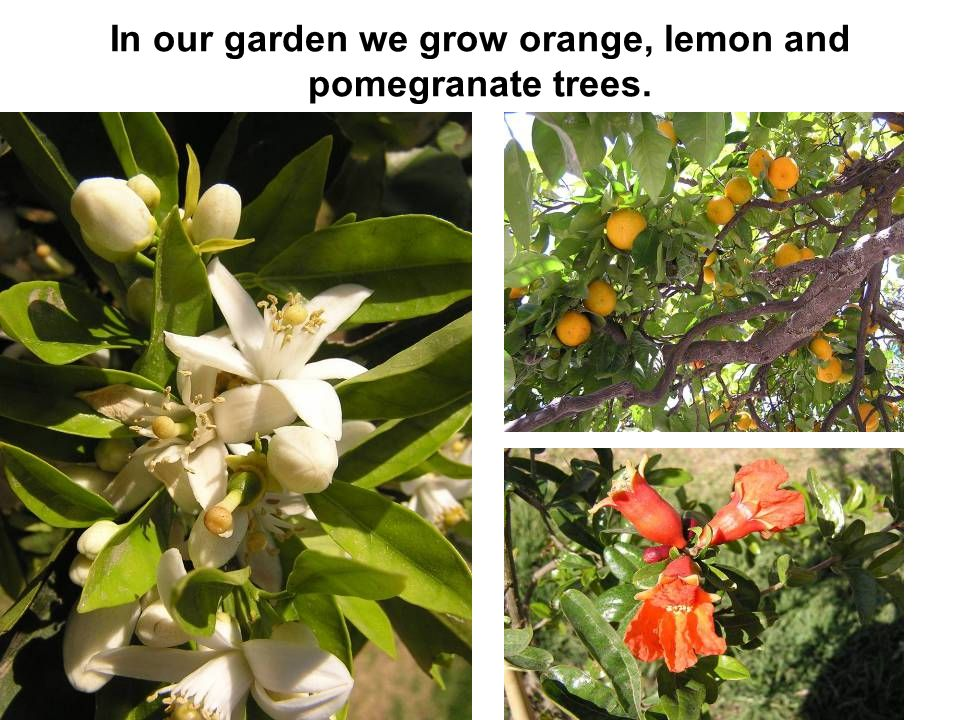 In our garden we grow orange, lemon and pomegranate trees.