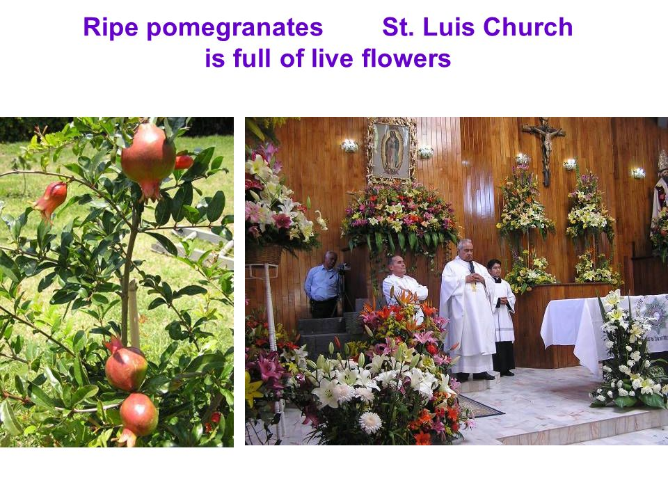 Ripe pomegranates St. Luis Church is full of live flowers