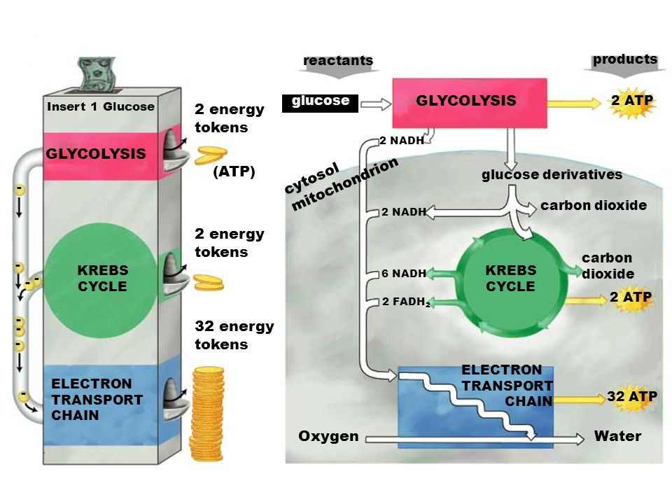 GLYCOLYSIS 2 energy tokens GLYCOLYSIS mitochondrion cytosol (ATP) -