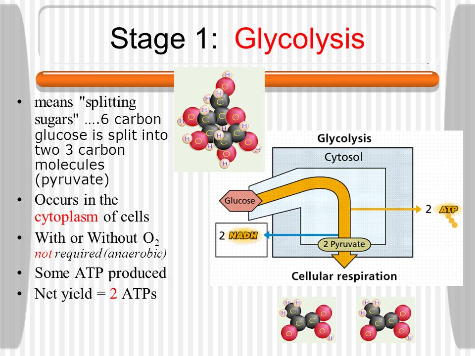 Stage 1: Glycolysis means splitting sugars ….6 carbon glucose is split into two 3 carbon molecules (pyruvate)
