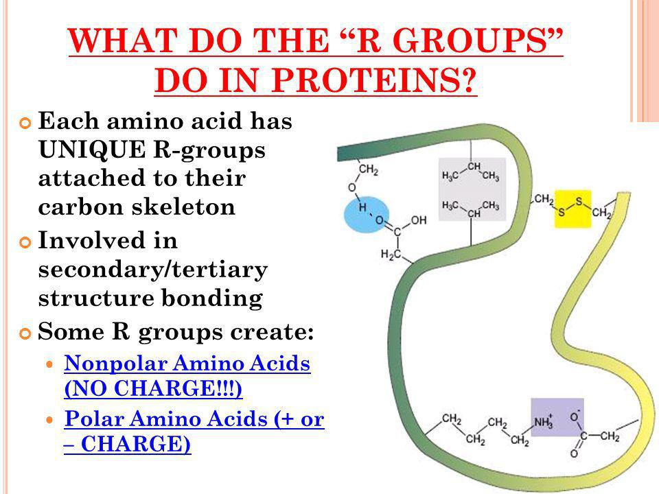WHAT DO THE R GROUPS DO IN PROTEINS