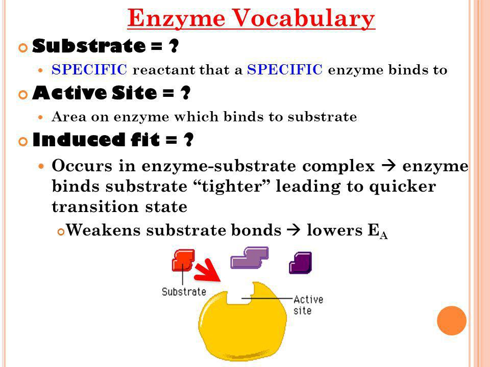 Enzyme Vocabulary Substrate = Active Site = Induced fit =