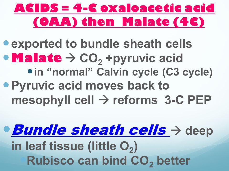ACIDS = 4-C oxaloacetic acid (OAA) then Malate (4C)