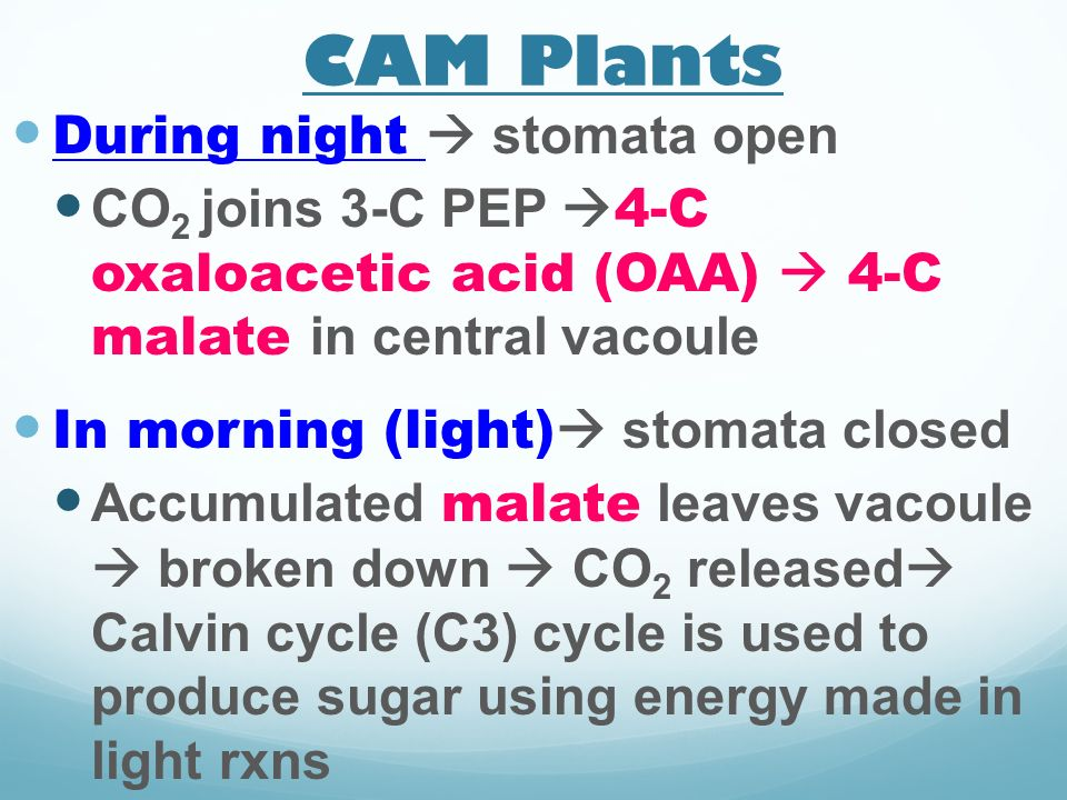 CAM Plants During night  stomata open