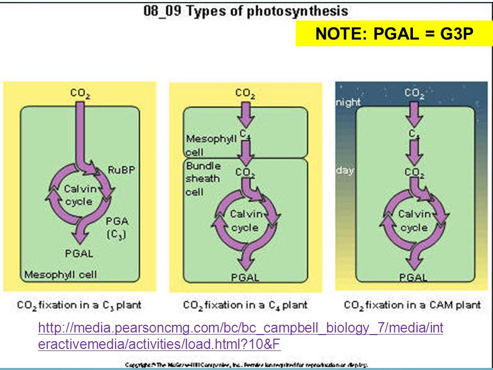 NOTE: PGAL = G3P http://media.pearsoncmg.com/bc/bc_campbell_biology_7/media/interactivemedia/activities/load.html 10&F.