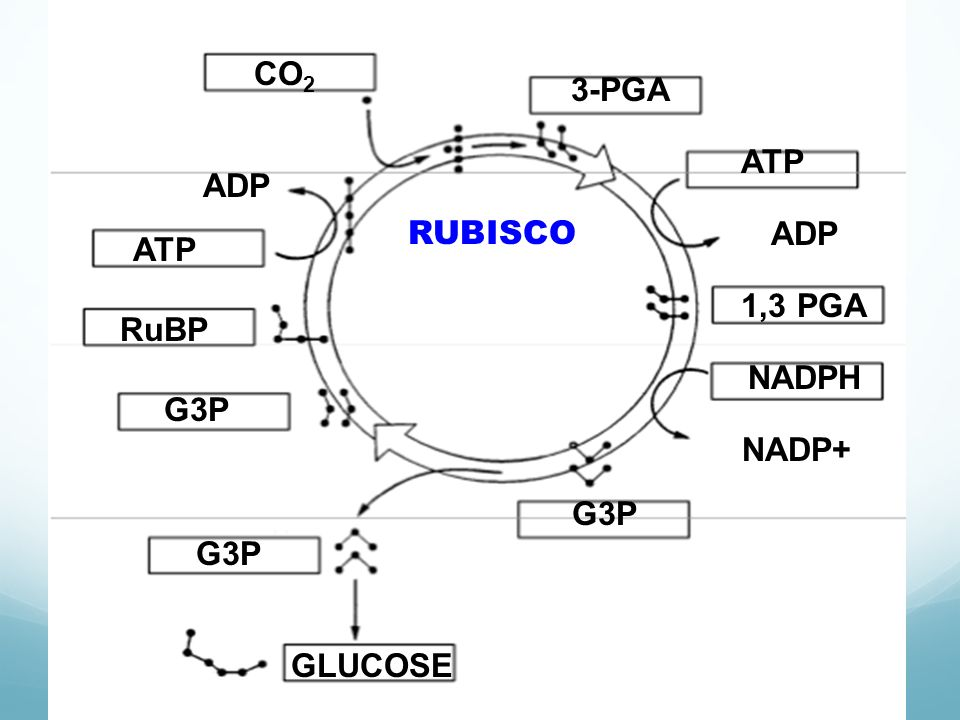 CO2 3-PGA ATP ADP RUBISCO ADP ATP 1,3 PGA RuBP NADPH G3P NADP+ G3P G3P GLUCOSE