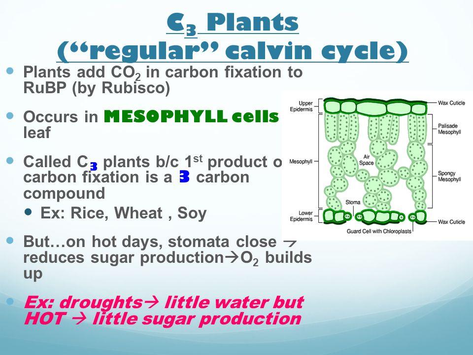 C3 Plants ( regular calvin cycle)