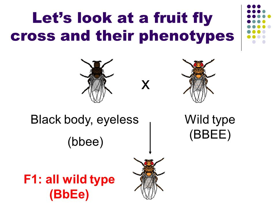 Let's look at a fruit fly cross and their phenotypes