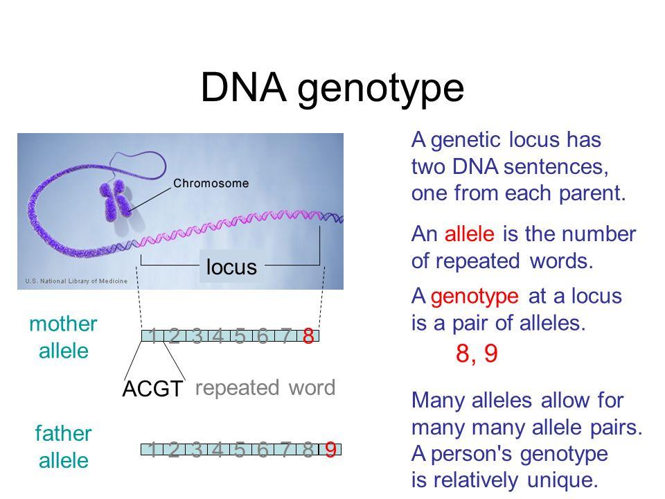 DNA genotype 8, 9 A genetic locus has two DNA sentences,